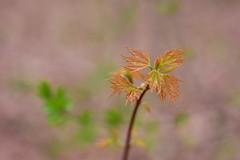 Fresh and new... (Bubash) Tags: new tree nature leaves leaf spring maple dof