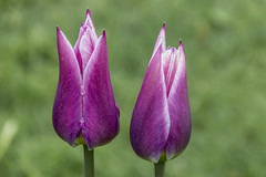 Purple tulips (PriscillaBurcher) Tags: stockholm tulip purpletulip l1340347