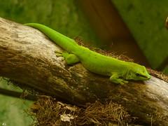 Gecko diurne de Madagascar (a.laruelle) Tags: vert gecko jardinbotaniqueetzoologique