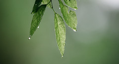 After Rain (Wes Hicks) Tags: macro tree green nature water leaves rain forest droplets dof bokeh depthoffield tones