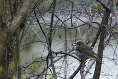 Hermit Thrush (Lyle Glen) Tags: ontario canada bird birds animal nikon 300mm tc nikkor f4 afs widlife 14x clarington d7100