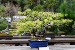 20160413-33-Bonsai at Kyoto Botanic Gardens (Roger T Wong) Tags: travel trees holiday japan kyoto bonsai botanicgardens 2016 canonef70200mmf4lisusm canon70200f4lis canoneos6d rogettwong