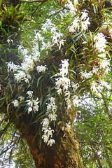Orchidee an einem Baum (Alfesto) Tags: nepal flower trekking blumen orchideen juving kharikhola taksindu distriktsolukhumbu