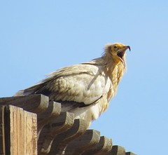 Egyptian Vulture (tom_2014) Tags: wild mountain bird nature ecology birds animal wildlife uae middleeast raptor arabia species vulture endangered carrion alain unitedarabemirates biodiversity avifauna neophron percnopterus jebelhafeet neophronpercnopterus egyptianvulture