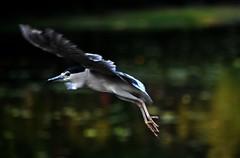 DSC_0062 Flying Heron (tsuping.liu) Tags: nature birds flying outdoor naturesfinest darkbackground natureselegantshots