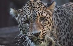 Angry cat (supermandrin1) Tags: madrid cats animals cat photography zoo leopardo aquarium persian big leopard gato grandes felinos felines animales fotografa persa
