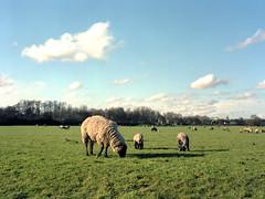 Sheeps And Clouds (Jrg Krger) Tags: sky green mamiya clouds mediumformat duisburg sheeps ruhr rollfilm m645