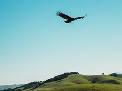 Turkey vulture in flight (harminder dhesi photography) Tags: california park bird nature canon landscape flying sonoma flight hills bayarea petaluma sonomacounty norcal vulture s6 70d vsco snapseed vscocam