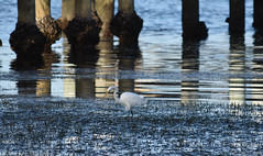 Eastern Great Egret hunting around wharf (Merrillie) Tags: sea nature water birds animals fauna bay nikon wildlife australia wharf egret greategret brisbanewater woywoy d5500 nswcentralcoastnsw centralcoastnsw easterngreategret