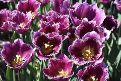 Jagged edges (cklx) Tags: red holland yellow spring tulips may tulip april brightcolors tulpen noordwijkerhout tulp lisse 2016 bollenstreek hillegom
