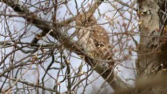 barred owl (record shot) (quadceratops) Tags: county nature massachusetts owl middlesex barred