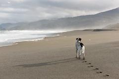 morning at the beach (Claudia Knkel) Tags: morning dog beach oregon blanca bordercolliemix