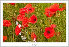 Poppies By the Roadside (flatfoot471) Tags: summer plant nature scotland unitedkingdom poppy normal lanarkshire 2015 southlanarkshire elsricke