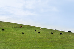 they like to graze up top (pbo31) Tags: california winter sky brown color green animal northerncalifornia milk nikon cows farm country hill january farmland pasture bayarea eastbay dairy livermore alamedacounty graze 2016 boury pbo31 d810
