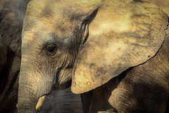 Grande (Marisa Cuesta) Tags: africa animal elefante oreja colmillo