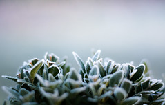 Buchs mit Morgentau (ingoal18) Tags: blatt eis bltter weiss morgentau buchs gefroren