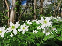 Wood anemones (Anemone nemorosa), Atholl Palace Hotel, Pitlochry (Niall Corbet) Tags: forest woodland scotland spring perthshire pitlochry anemonenemorosa woodanemone athollpalace