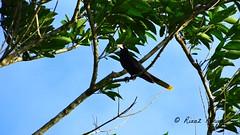 Psarocolius decumanus (riaaz.kariem) Tags: birds crested kuif oropendola psarocolius decumanus banabekie birdsofsurinam