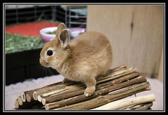ICHIGO san 41 (mensore) Tags: brown rabbit bunny san ichigo netherlanddwarf
