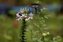Garden of delights (holdit.) Tags: summer plant flower butterfly tomato swallowtail vergetable cleome