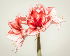 Amaryllis 2 with four flowers (RCARCARCA) Tags: pink canon flash lilly amaryllis lillies speedlight reflector strobe 135mml 5diii