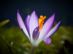 Bathing in sunlight (Caledoniafan (Astrid)) Tags: light macro licht nikon purple crocus lila makro krokus caledoniafan nikoncoolpixl820