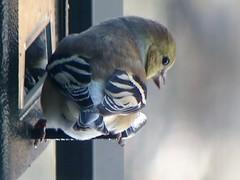 Chardonneret (ChapOLisa) Tags: bird animal goldfinch oiseau chanteur chardonneret