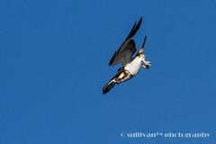 IMG_2564 (sullivan) Tags: nature animal taiwan sullivan  osprey    ef300mmf4lisusm   canoneos7d   newtaipeicity    adobephotoshoplightroom5 suhaocheng