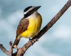 Tweetie Bird (librarian7**) Tags: bird nikon nikkor d300 80400mmf4556dvr
