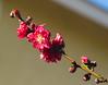 Peach- First Blossom 2016 (Palenquero Quercus agrifolia) Tags: 90mm f28 elmarit leicam8 teleelmaritm teleelmarit90mmf28