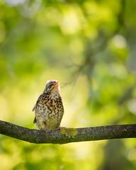 Calling you (pakerholm) Tags: bird birds animals spring sweden wildlife may aves sverige norrkping avian turduspilaris maj vr fieldfare rastas fglar djur fgel lintu linnut bjrktrast trast rkttirastas vildadjur