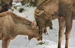 Motherly love ( or fatherly love? ) (marypink) Tags: winter snow germany bavaria mammalia germania baviera cervidae alces bayerischerwaldnationalpark nikkor80400mmf4556 nikond7200