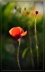 Solo (Harald52) Tags: natur pflanze blte mohn