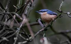 Nuthatch - Calke (irelaia) Tags: wild bird abbey nuthatch calke calkeabbey