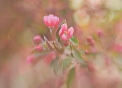 Remembering Spring (LornaTaylor) Tags: flowers spring bokeh explore cherryblossoms gardencenter lornataylor sweet50 lensbabycomposer taylorimagesca greenlandnusery lensbabysweet50 copyright2015lornataylor
