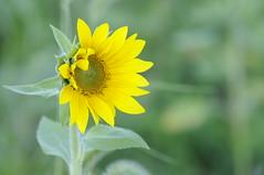 Unfolding (Filsa Bint Ahmed) Tags: travel flower macro green nature yellow landscape golden shine outdoor maryland hour sunflower lonely 105mmf28 jarrettsville clearmeadowfarm