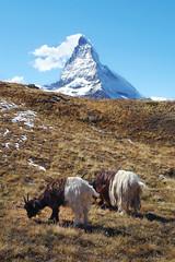das Matterhorn (welenna) Tags: schnee autumn snow mountains animals landscape switzerland tiere view berge ziege matterhorn alpen wallis