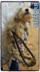 Blanquita 5 (santuariolacandela) Tags: españa sevilla spain donation animalsanctuary femaledog adoption perra utrera blanquita donación acogida adopción santuariolacandela befosterhome