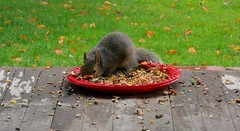 Just stopped by for a snack (susanmbarlow) Tags: animal squirrel wildlife photograph delaware rodentia graysquirrel sciuruscarolinensis