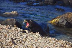 DSC_3176 3 (Jessica Manheim Toofan) Tags: ocean hawaii oahu seal endangered kaenapoint monkseal hawaiianmonkseal