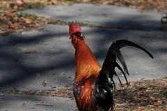 Canon201821 (godrudy6661) Tags: chickens chicken neworleans ninthward wildchicken feralchicken