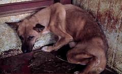 South Korea's Shocking Cruelty - Dog Meat Industry (Koreandogs) Tags: samsung lg daewoo sk kia dogmeat southkorea hyundai boycott fila boshintang  animalcruelty  animalabuse koreanairline  asianaairline gaegogi     dogsoju dogelixir
