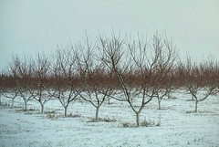Greetings from Southern New Jersey! (dianealdrich - Please read my profile) Tags: winter snow beauty rural newjersey farm farming scene orchard calm agriculture wintertime wintertrees southjersey snowscape wintertree southernnewjersey cumberlandcounty serenescene ruralscene ruralwinterscene calmwinter