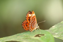 Harlequin2 (moloch05) Tags: malaysia taman negara