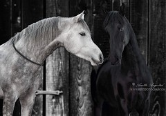 Mahadin & Nocturno (Hestefotograf.com) Tags: horses horse oslo norway caballo cheval married welsh arabian justmarried cavalo pferd stallion canter equine equus paard darkhorse friesian purarazaespanol equinephotographer equinephoto hestefotograf