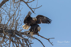 Bald Eagles copulating sequence - 6 of 28