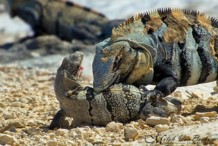 ATTACK! (Mexican Spiny-Tailed Iguanas)