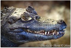 What's for dinner? (ctofcsco) Tags: 1250 1d 1div 28 280mm alligator canon colorado coloradogators ef200mm ef200mmf2lisusm ef200mmf2lisusm14x eos1d eos1dmarkiv explore f28 iso800 mark4 markiv nature portrait reptile reptilepark sanluisvalley teeth unitedstates usa wildlife wwwcoloradogatorscom alligators co coloradogatorsreptilepark explored geo:lat=3770572325 geo:lon=10587029815 geotagged hooper mosca animal extender teleconverter 14x ef14xii bokeh best wonderful perfect fabulous great photo pic picture image photograph