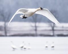 Trumpeter Swans (Jan Crites) Tags: winter bird nature outdoors nikon wildlife iowa swans avian trumpeterswans lilylake d610 amanacolonies jancritesphotography nikon200500mm