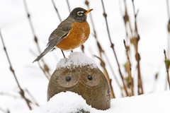 Hoo me? (brucetopher) Tags: winter snow cold bird look robin birds season see spring eyes glare owl hoo hoohoo signsofspring changeofseason newenglandbirds